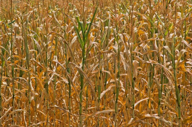 Séchez les tiges jaunes du plan rapproché de maïs au jour d'été ensoleillé photographie stock