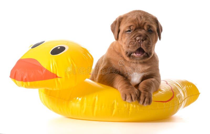 Sécurité de l'eau de chien photographie stock
