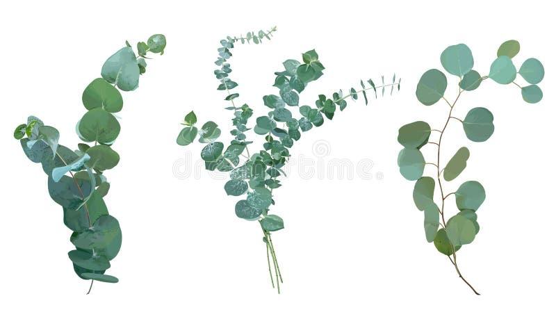 Sélection d'espèces d'eucalyptus de bleus layette, de spirale et de dollar en argent illustration libre de droits