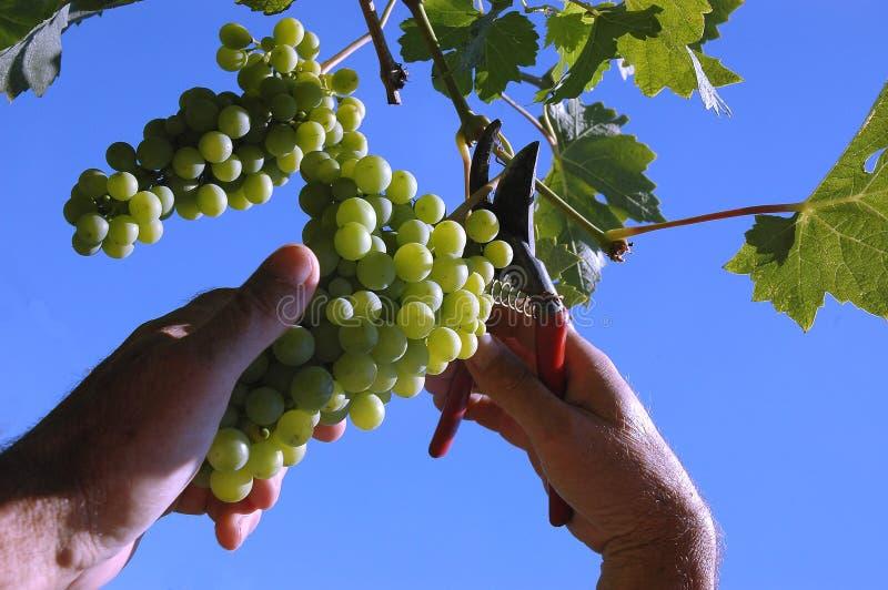 Sélection du raisin images stock