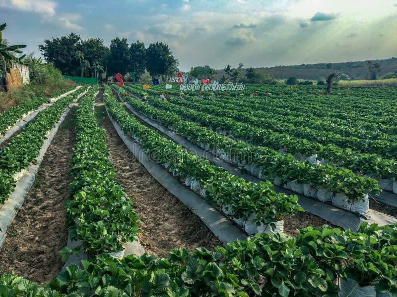 Sélectionnez votre propre Berry Farm dans la province d'Udon Thani, Thaïlande images libres de droits