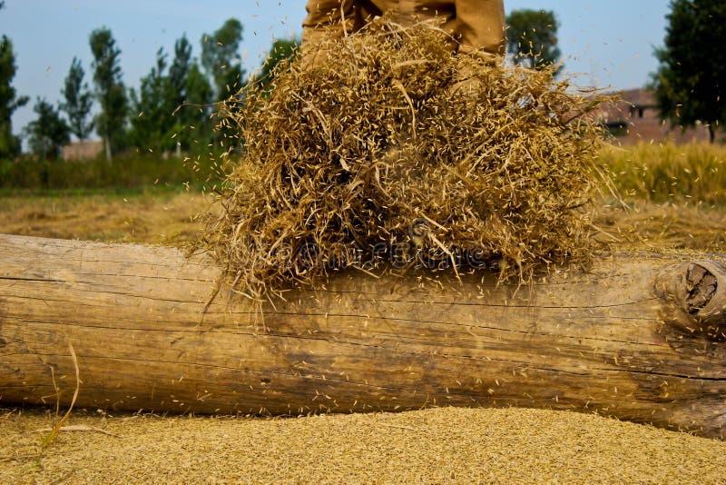 Séparation des grains de riz photographie stock libre de droits