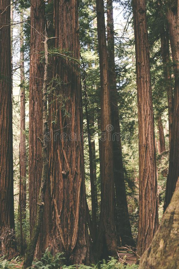 Séquoia Forest Trees Stand Tall photographie stock libre de droits
