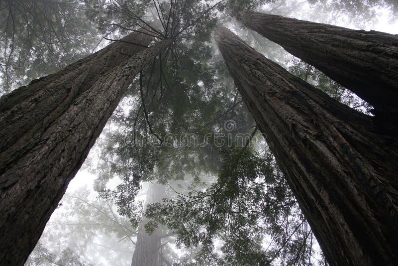 Séquoia trees-1 image libre de droits