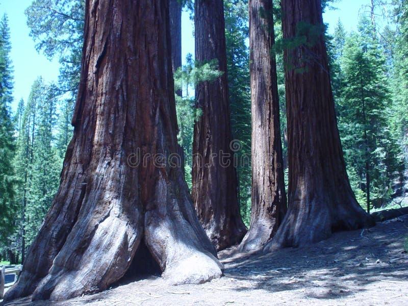Séquoias image libre de droits