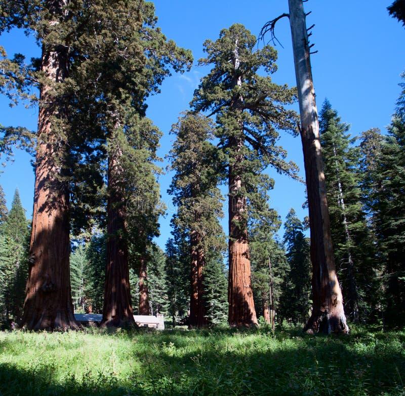 Séquoias de géant de verger de Wawona Mariposa images stock