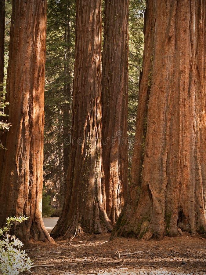 Séquoias de plantation de Mariposa image libre de droits