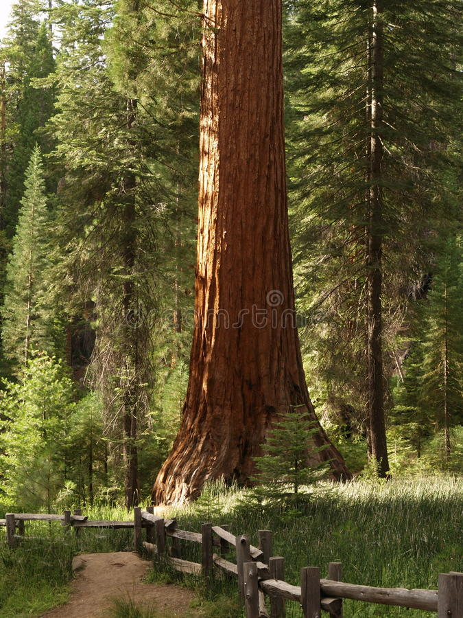 Séquoias de plantation de Mariposa photographie stock