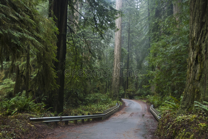 séquoias de séquoia de stationnement national images stock