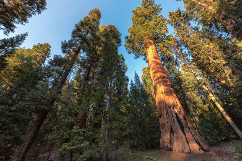 Séquoias géants en parc national de séquoia en Californie photos stock