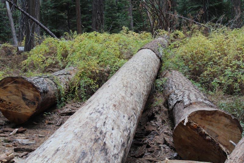 Séquoias utilisés comme marqueurs de traînée photos libres de droits