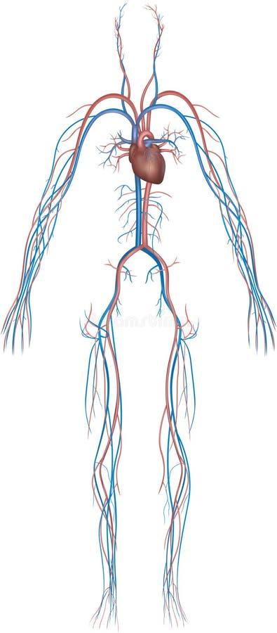Série 9 do sistema do corpo ilustração royalty free