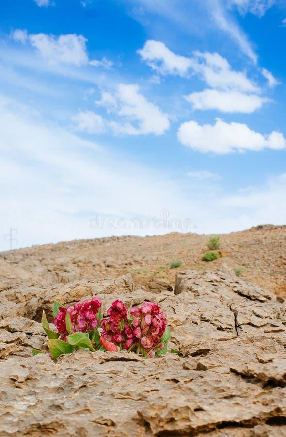 Série de Holyland - Ramon Crater Makhtesh - fleur 3 de désert photo stock