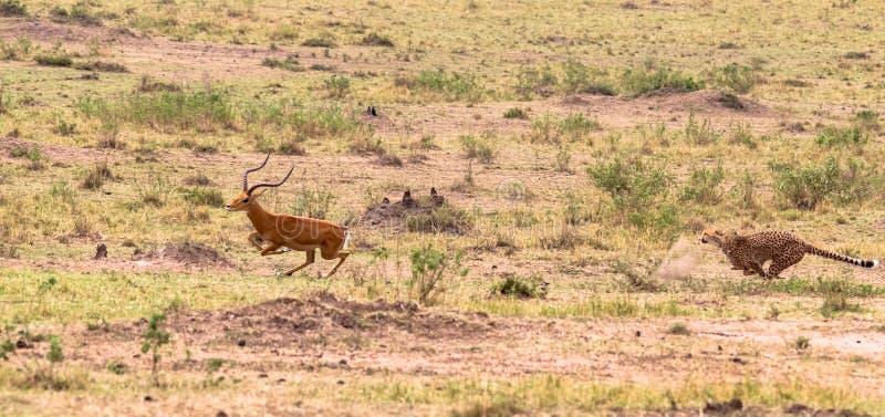 Série de photo : Chasse de guépard pour le grand impala Le septième épisode Masai Mara, Kenya photo libre de droits
