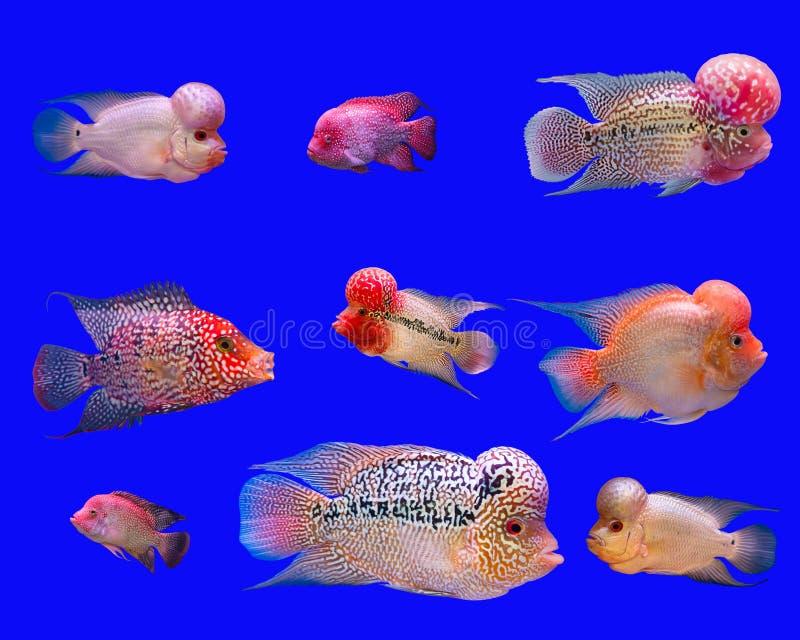 Série de poissons de klaxon de fleur photo libre de droits