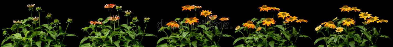 Série de Temps-faute de fleur de cône photos libres de droits