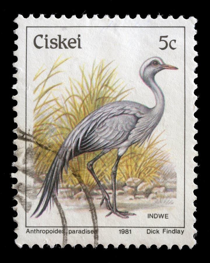 A série do selo imprimiu no paradiseus azul de Crane Anthropoides das mostras de Ciskei fotografia de stock royalty free