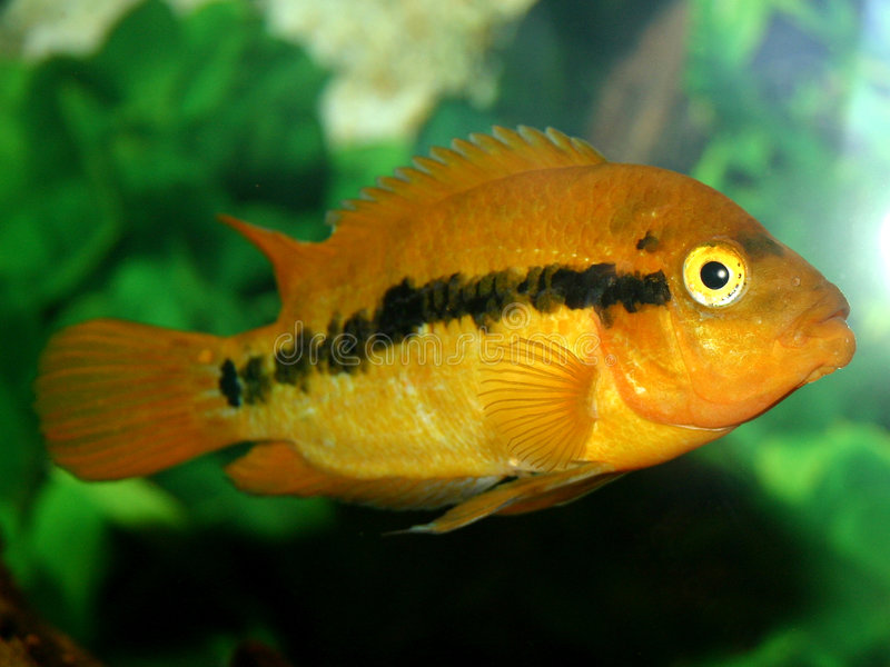 Série III dos peixes fotografia de stock