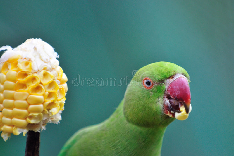 Série Necked 6 do Parakeet do anel indiano foto de stock royalty free