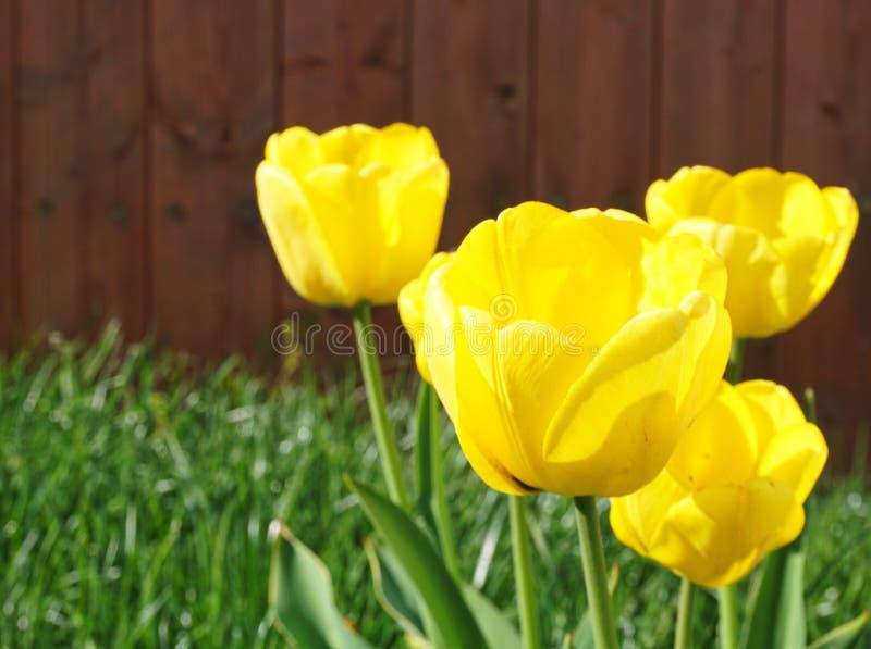 Série ouverte jaune de fleurs de tulipe avec un vert et un fond brun photo libre de droits