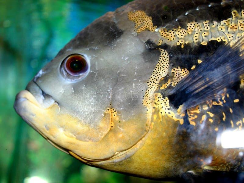 Série VI dos peixes fotografia de stock