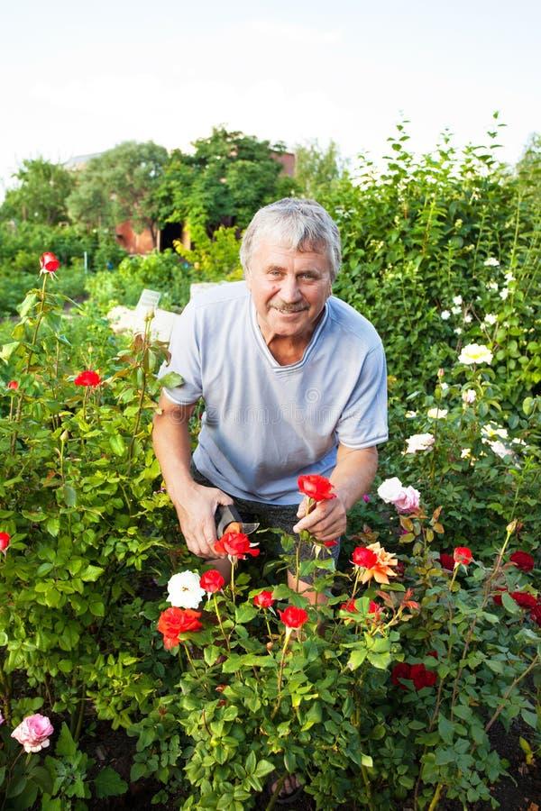 Sêniores que importam-se com rosas no jardim foto de stock royalty free