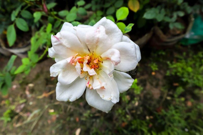 Símbolo color de rosa blanco del amor humano imagen de archivo