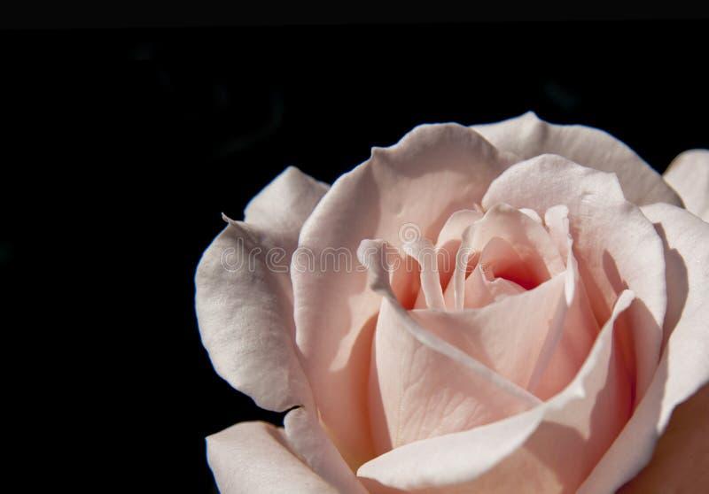 Símbolo color de rosa del amor del rosa del primer en fondo negro fotografía de archivo libre de regalías