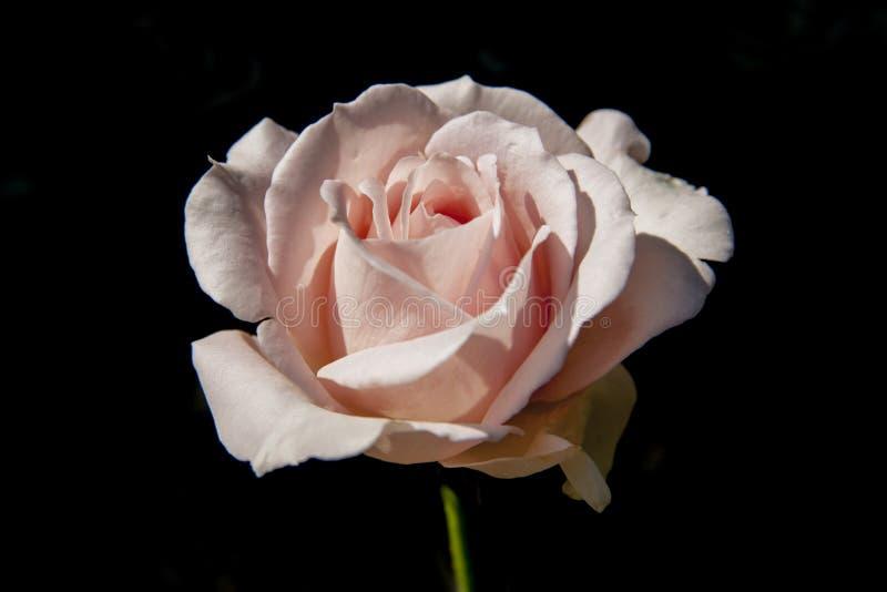 Símbolo color de rosa del amor del rosa del primer en fondo negro imagenes de archivo