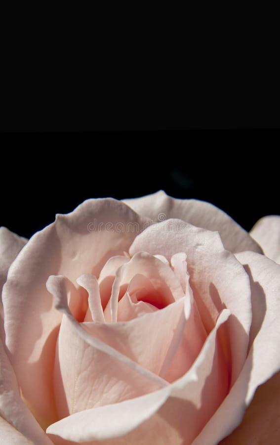 Símbolo color de rosa del amor del rosa del primer en fondo negro imagen de archivo libre de regalías