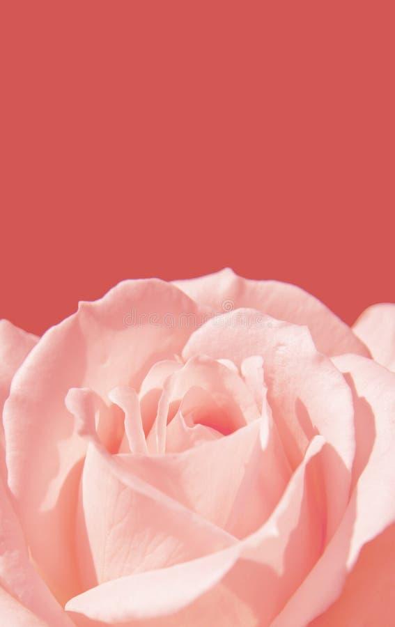 Símbolo color de rosa del amor del rosa del primer en fondo rosado imagenes de archivo