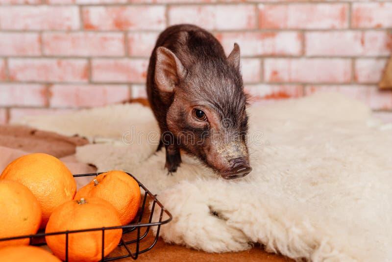 Símbolo de 2019, el cerdo, Feliz Año Nuevo Días de fiesta, invierno y la celebración del humor de la Navidad La Navidad y nuevo fotos de archivo libres de regalías