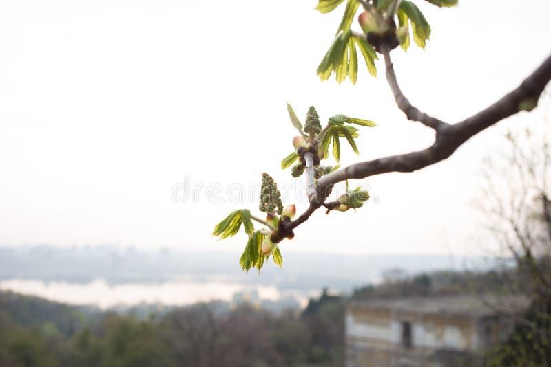 Símbolo de la rama de la castaña de caballo de Kiev en Ucrania foto de archivo libre de regalías