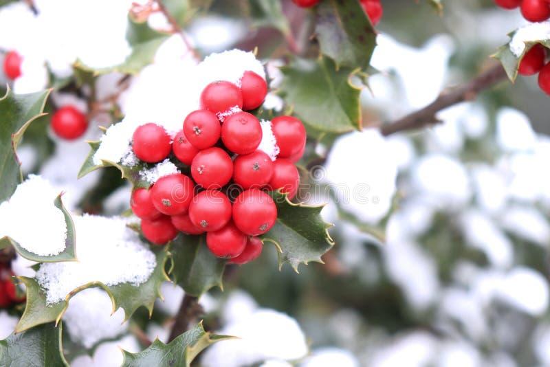 Símbolo do Natal em Europa Close up de bagas vermelhas bonitas do azevinho e das folhas afiadas em uma árvore no tempo do outono imagem de stock royalty free