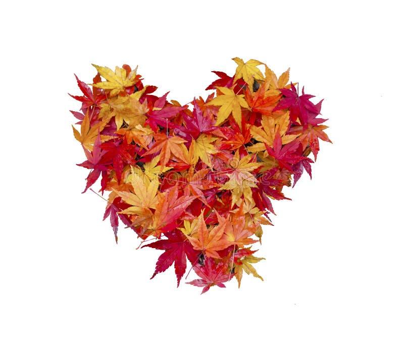 Símbolo vermelho do signe do coração das folhas de bordo do outono isolado no CCB branco fotografia de stock royalty free