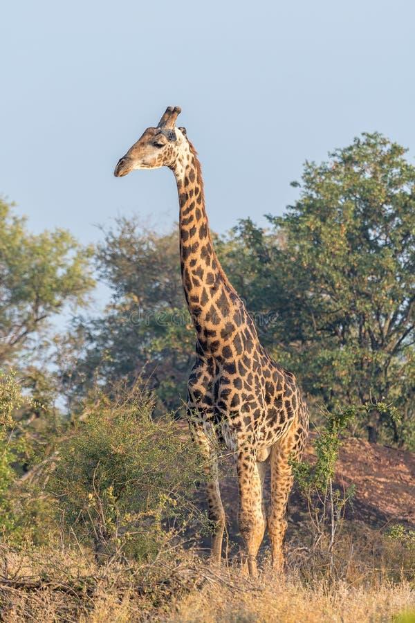 Söder - afrikansk giraff som från sidan ser arkivfoton
