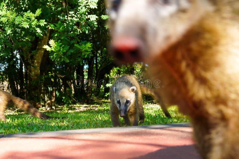Söder - amerikansk Coati på Iguazu Falls royaltyfria foton
