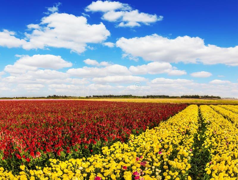Söder av Israel, vårdag Bondefält av gula och röda smörblommor för blomning Frodiga stackmolnmoln i den blåa himlen mot som kroke arkivfoto