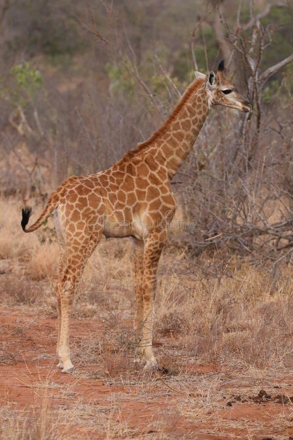 Söderna - afrikansk giraffgröngöling i den Kruger nationalparken royaltyfria foton