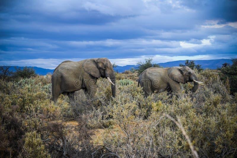 södra africa afrikansk elefant arkivbild