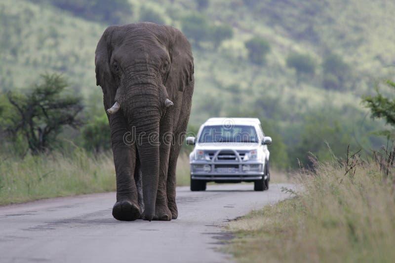 södra africa afrikansk elefant royaltyfria bilder