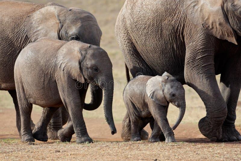 södra africa afrikanska elefanter arkivfoto
