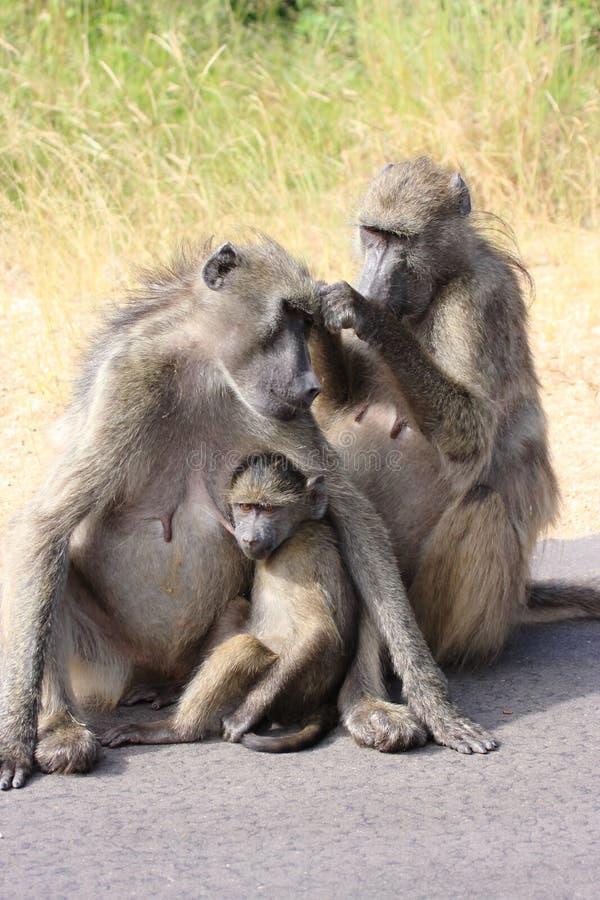 södra africa baboon arkivfoto