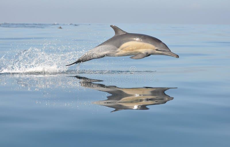 södra africa delfin royaltyfria bilder