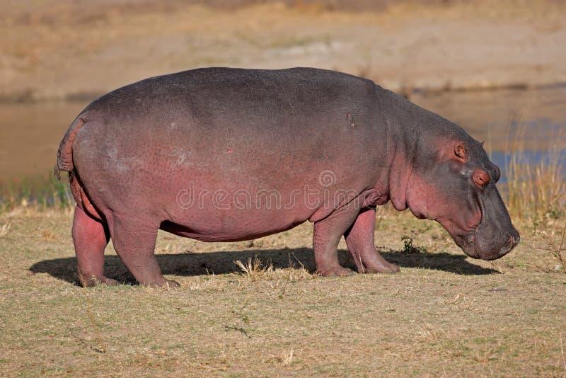 södra africa flodhäst arkivbild