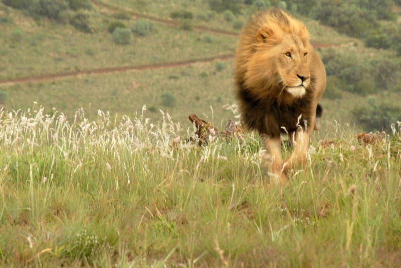 södra africa lion royaltyfri bild