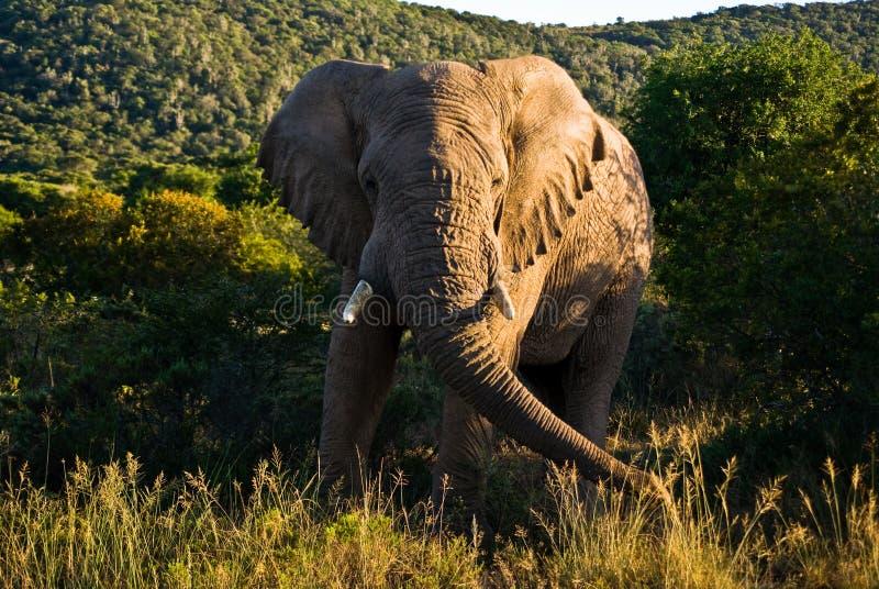 södra afrikansk elefant arkivbilder