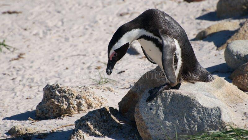 Södra - afrikansk pingvin arkivbilder