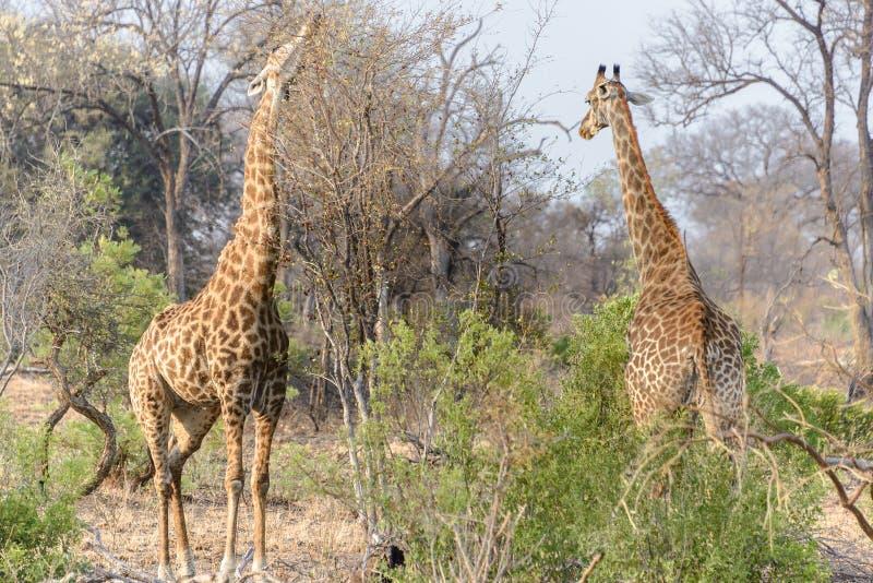 Södra - afrikanska giraff i den Kruger nationalparken, Sydafrika royaltyfri bild