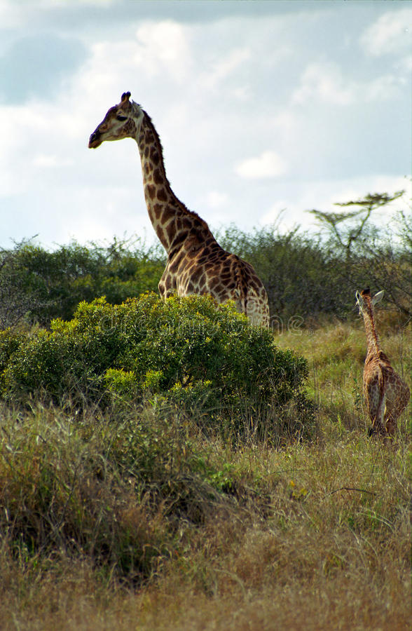 Södra - afrikanska giraff, Kruger nationalpark som är södra - afrikan Repub royaltyfri fotografi